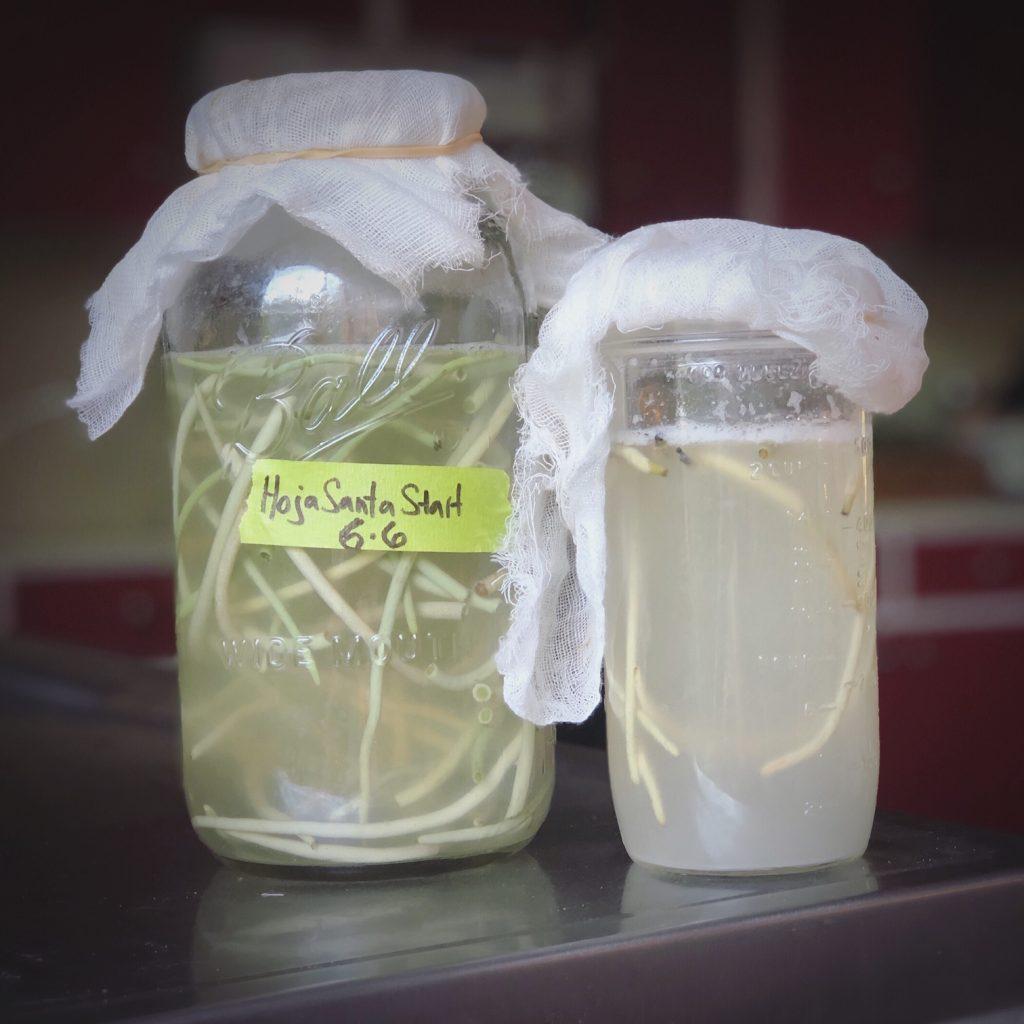 False awa (Piper auritum) wild yeast starter