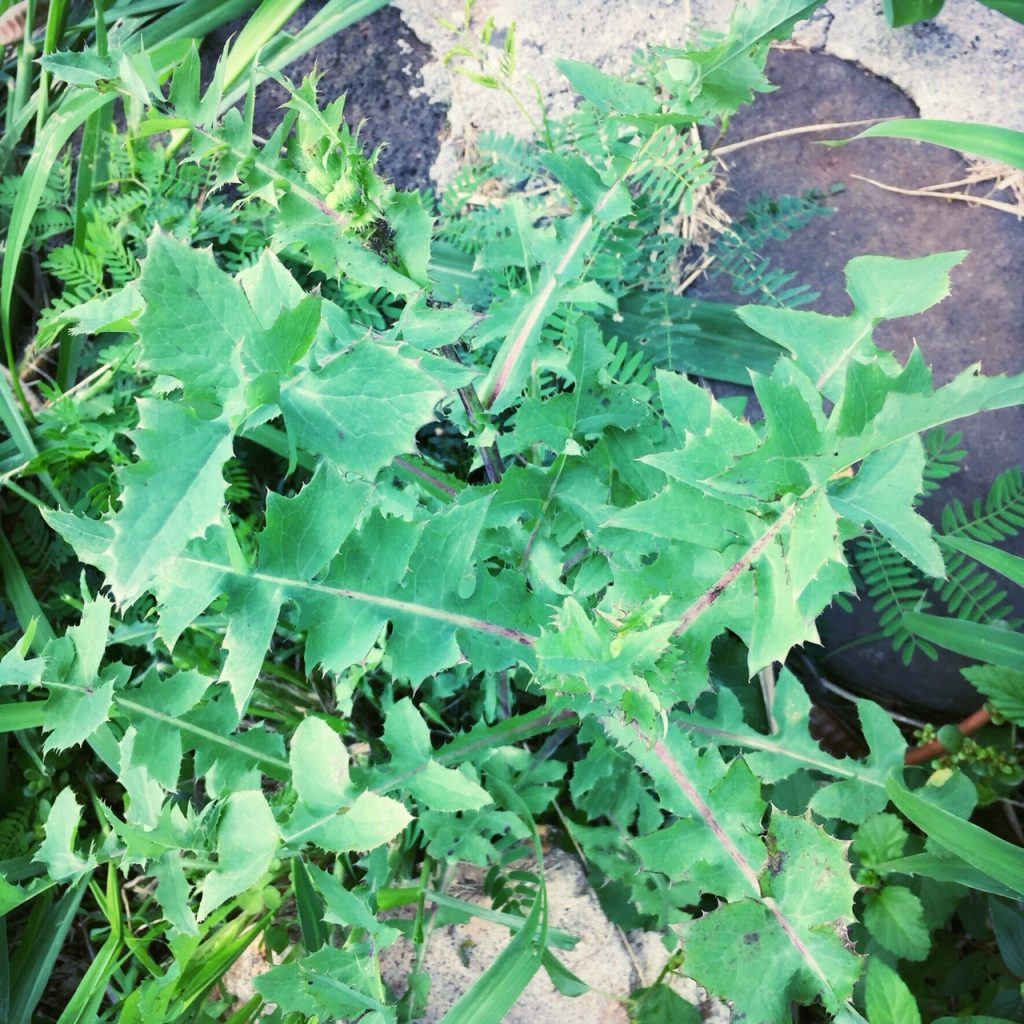 sonchus oleraceus hawaii sow thistle greens